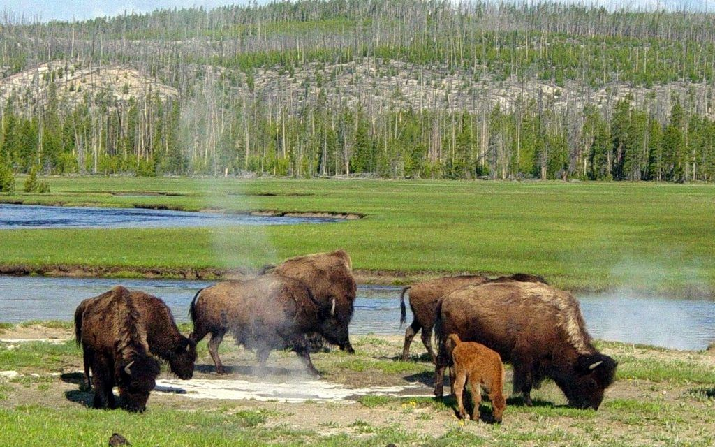 How Well-Meaning Humans Are Damaging Yellowstone's Ecosystem