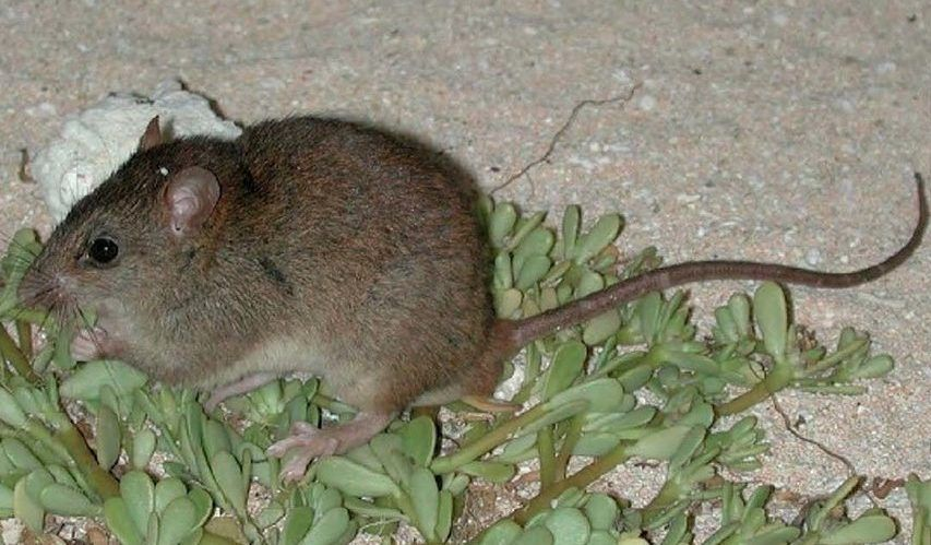 First Mammal Goes Extinct Due to Climate Change