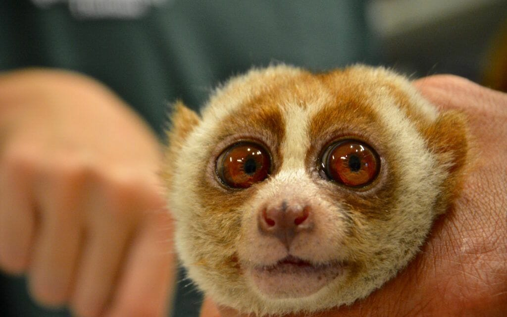 Adorable Slow Loris Has Teeth Ripped Out for Selfies