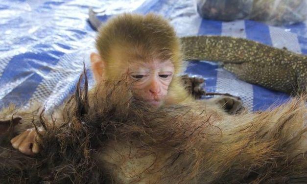 Baby Monkey Clings Tightly to Dead Mother Murdered by Poachers