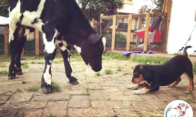 Rescued Veal Calf and Abandoned Puppy are Inseparable