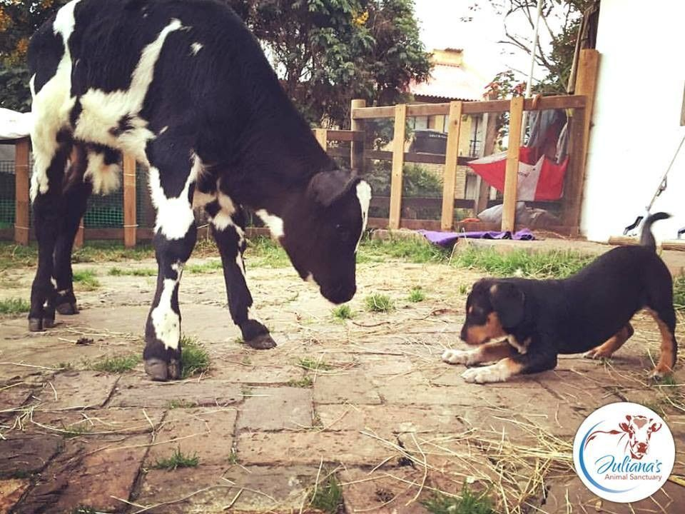 rescued dog and veal calf friends