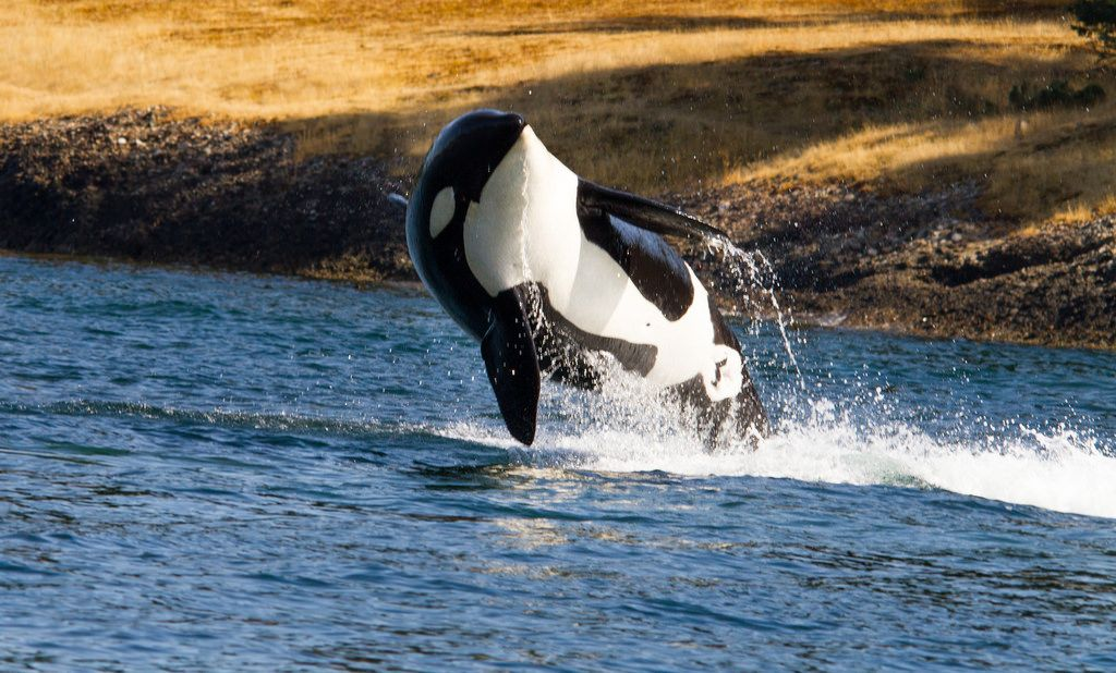 California Becomes First State to Ban Orca Breeding and Captivity