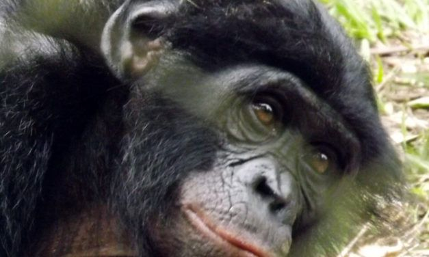 First-Ever Bonobo Communication Workshop Aims to Save One of Human's Closest Relatives