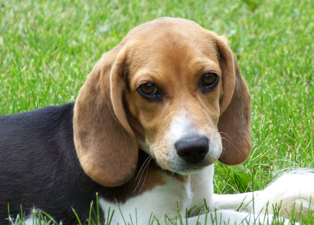 beagles blinded and killed for research
