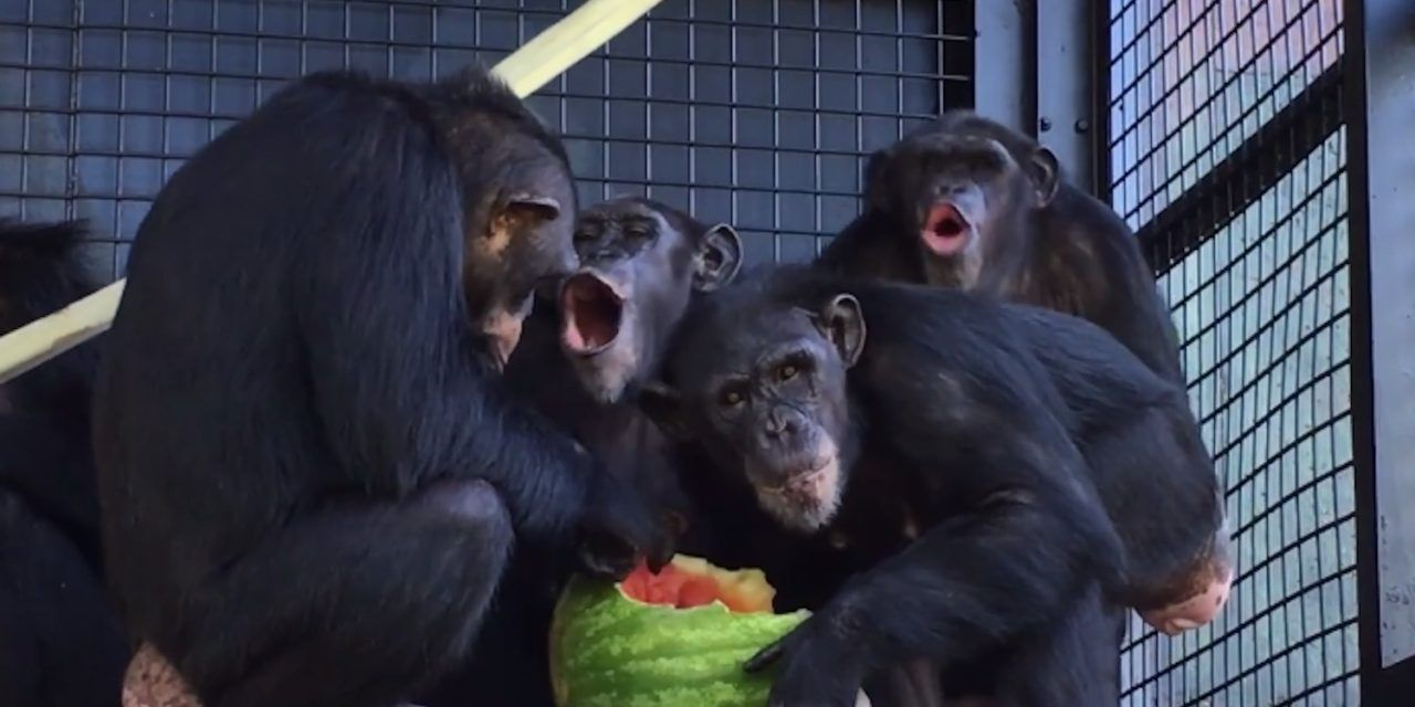 Rescued Lab Chimps Try Watermelon for the First Time – And REALLY Dig In