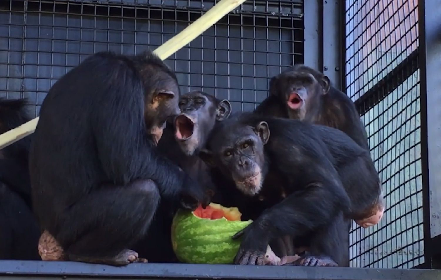 rescued lab chimps taste watermelon for the first time