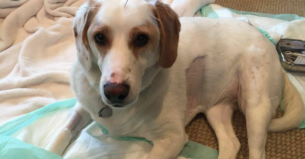 Paralyzed Dog Gets Acupuncture, is Now Learning to Walk Again