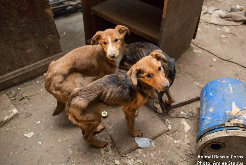 Good News! Dogs Rescued from Dire Hoarding Situation Nearly All Recovered