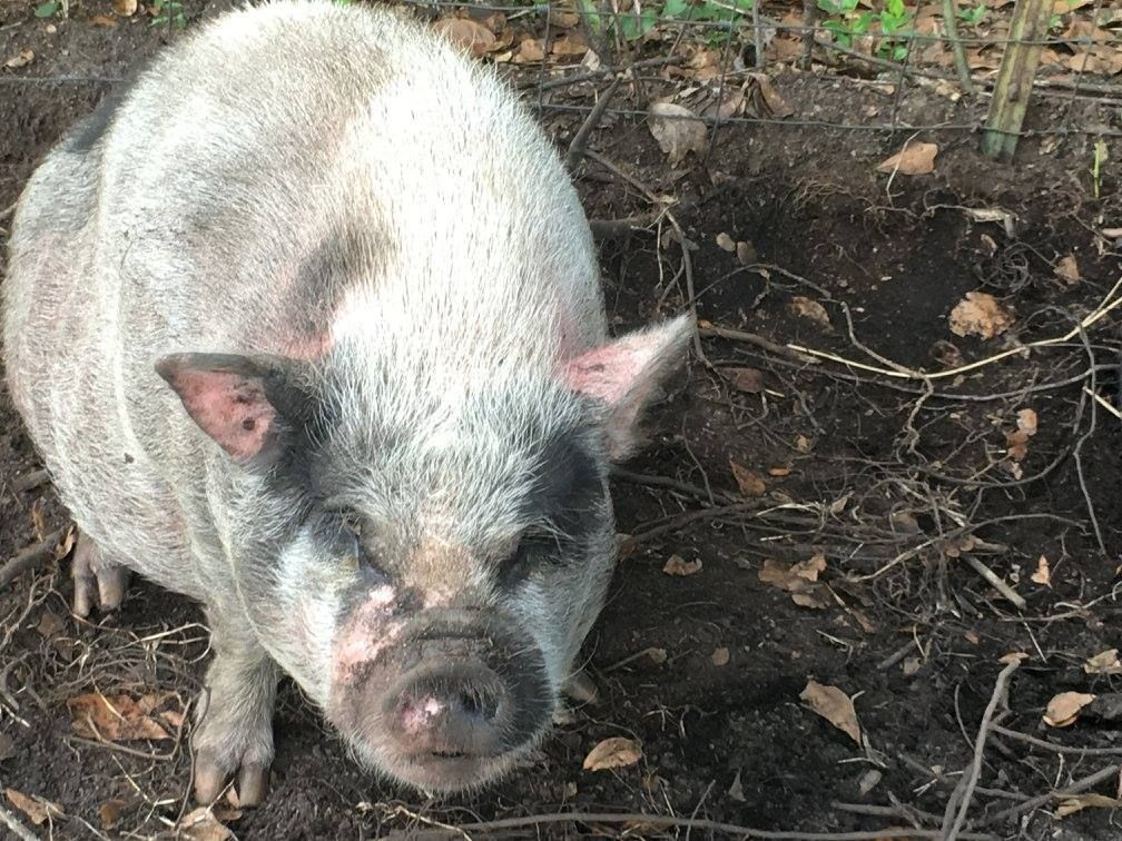 Emma the pig at Rooterville sanctuary