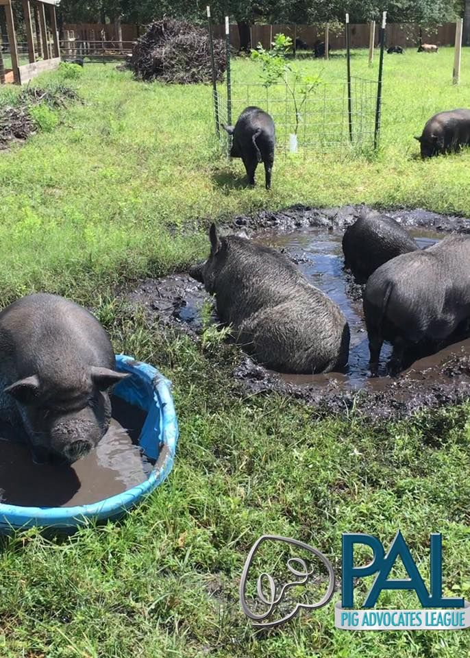 Rescued pigs playing in the mud at Rooterville.