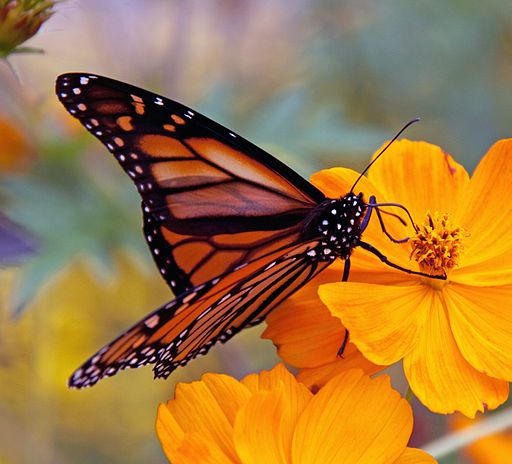Monarch butterflies were listed as endangered by COSEWIC