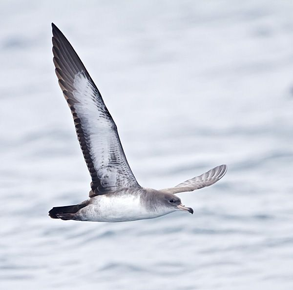 Pink-footed Shearwater was listed as Endangered by COSEWIC
