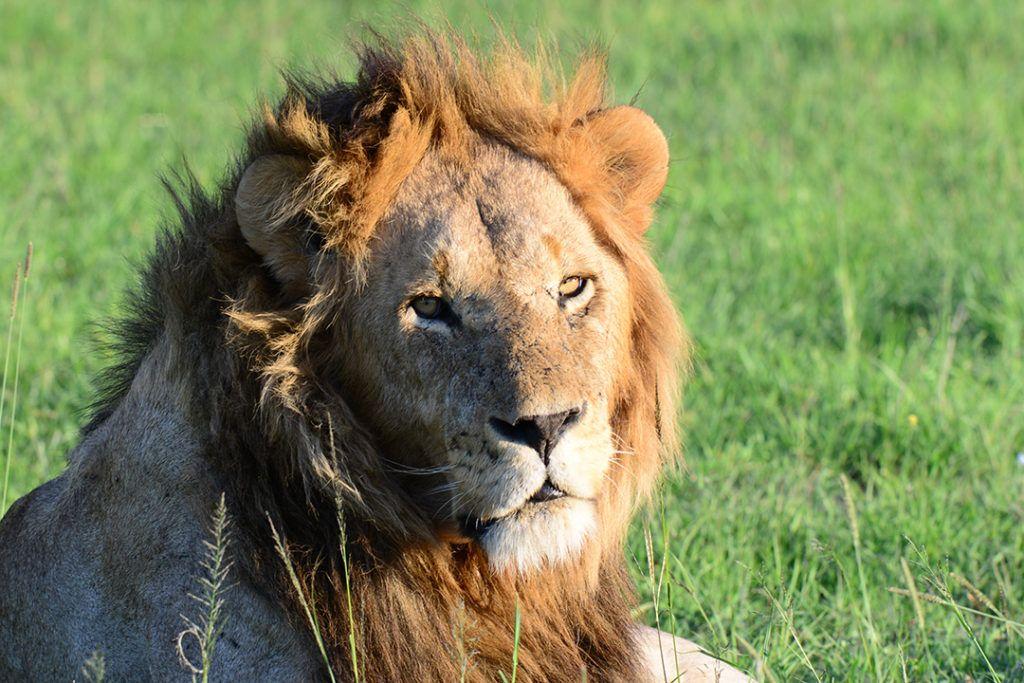 Wild lion in natural habitat.