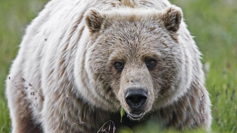 Stop the Trophy Hunting of Yellowstone Grizzly Bears!