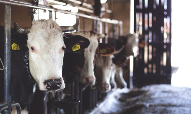 USDA Sued for Failing to Stop Massive Animal Suffering