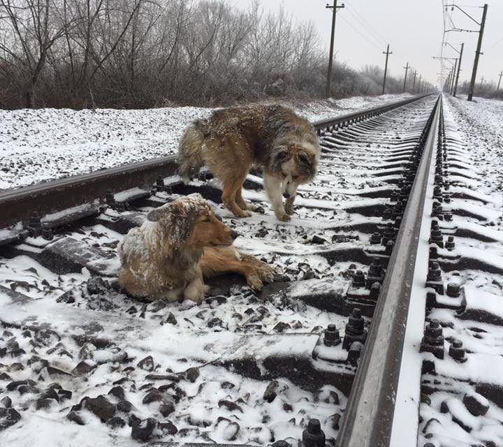 Dog Protects Wounded Friend On Icy Train Track for 2 Days