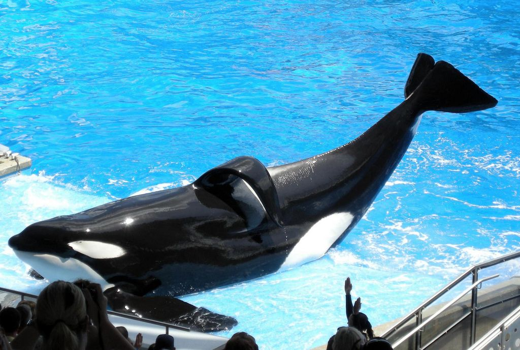 Tilikum at SeaWorld