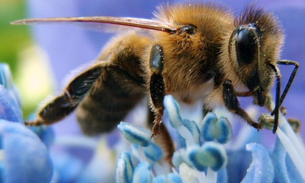 Bees Are Now an Official Endangered Species in the U.S.