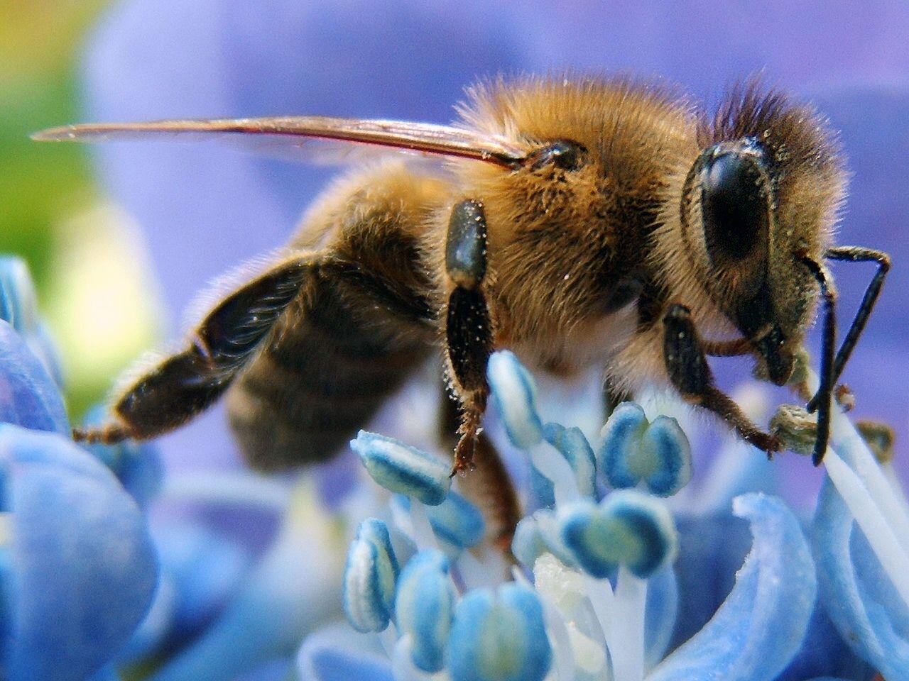 Western honey bee on flower