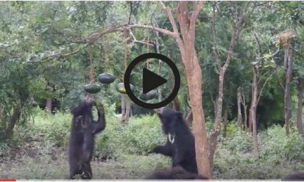 Video: Rescued 'Dancing Bears' Can't Resist Watermelon Pinata