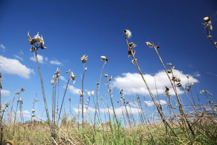 Field of milkweed to attract monarch butterflies.