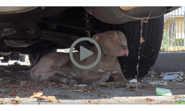 Video – Stray Pit Bull Hit by Car Gets 2nd Chance at Life