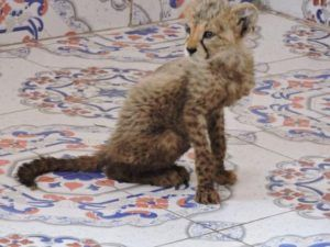 A cheetah cub rescued from poachers in Somaliland. Become a hero and protect animals. Learn more at Lady Freethinker.