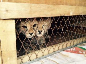 Two cheetah cubs rescued from traffickers in Somaliland. Become a hero and protect animals. Learn more at Lady Freethinker.