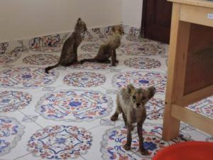 Three rescued cheetah cubs from Somaliland. Help protect animals from abuse: Learn more at Lady Freethinker.