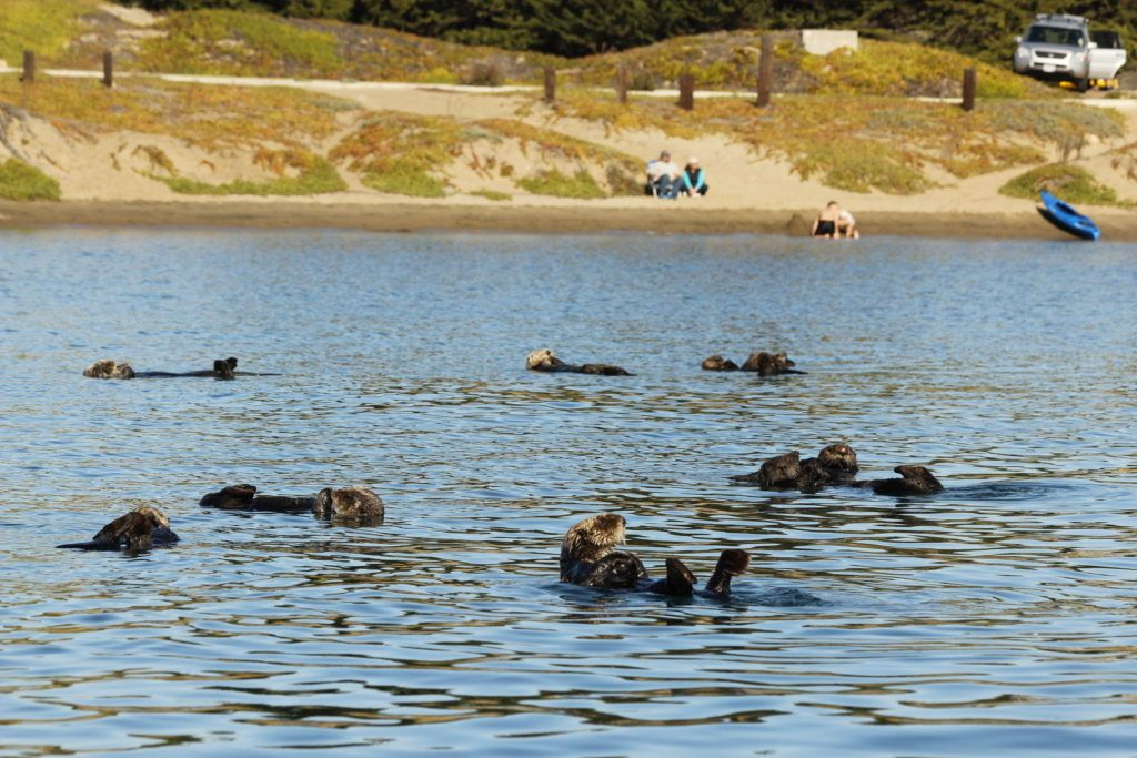 Sea otters at Morro Bay, CA.
