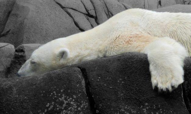 SeaWorld Polar Bear Has Died 'Of A Broken Heart'