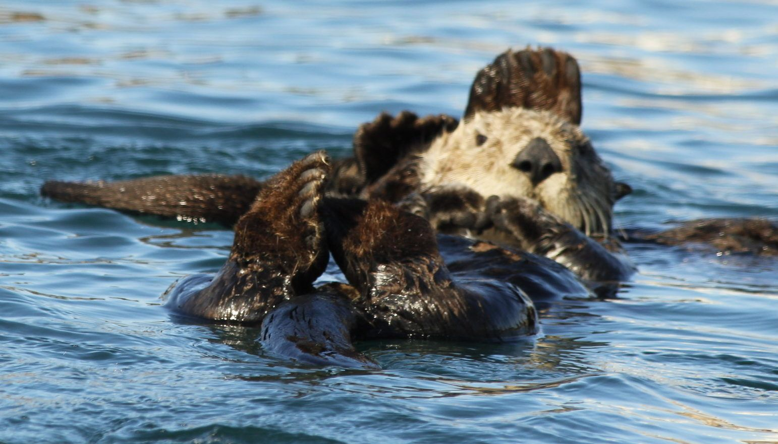 Otters swim in Morro Bay, CA.