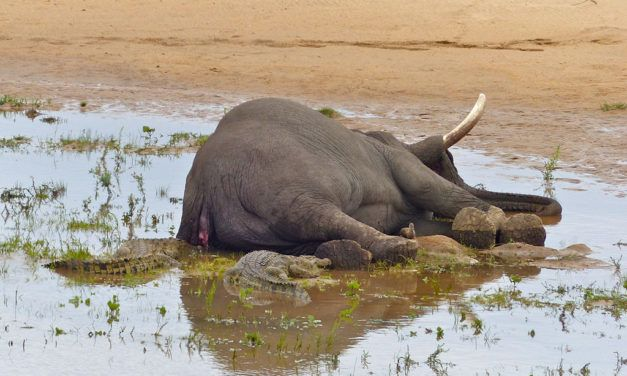 Trophy Hunter Crushed to Death by Gunned-Down Elephant