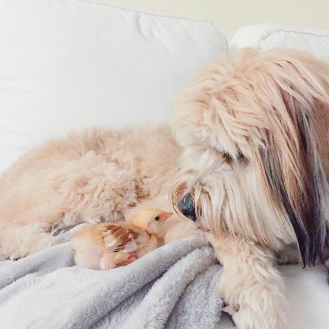 Dog Rescued from Dog Meat Trade Snuggles Up to Orphaned Chick