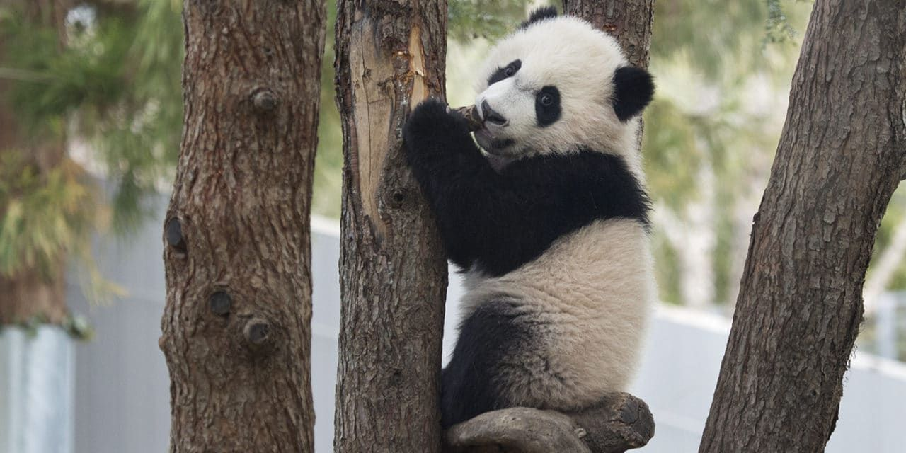 Forced Baby Panda Separation From Mom Is Latest Zoo Cruelty Controversy