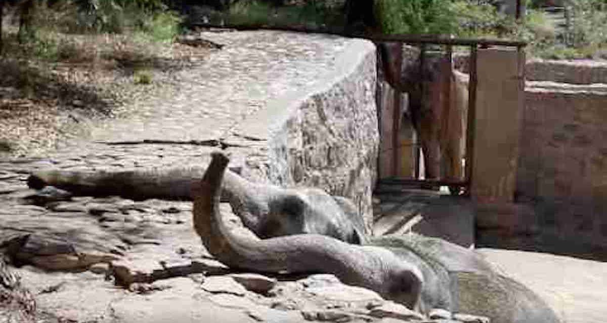 Elephants in Concrete Pit Reach Longingly for Freedom