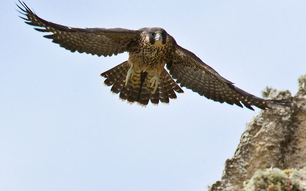 The Peregrine Falcon is Making a Comeback in Michigan