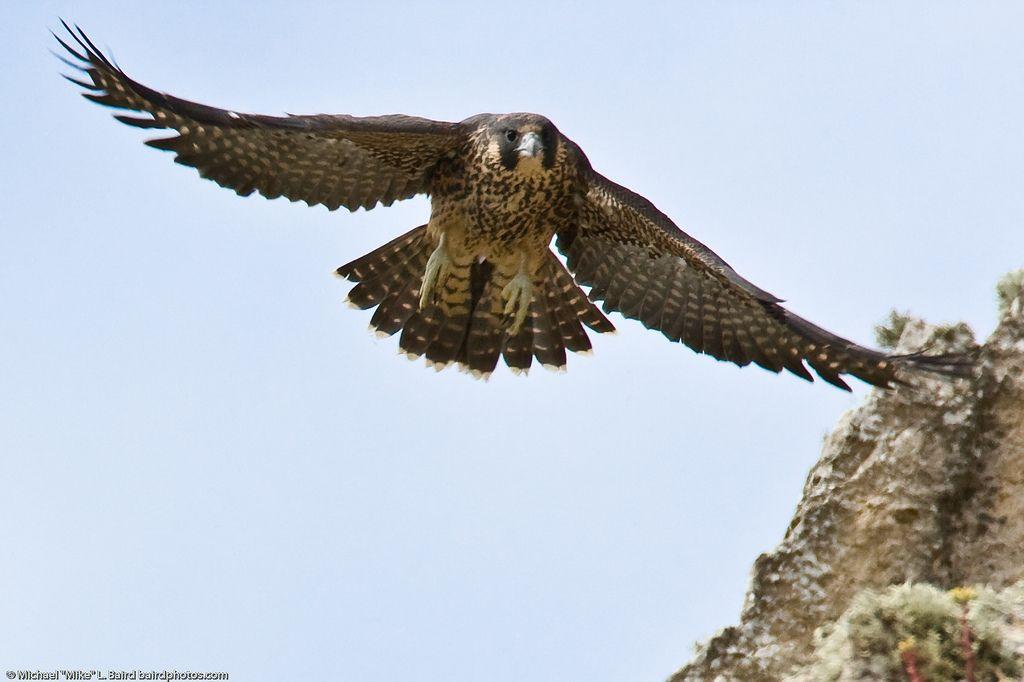 Peregrine Falcon flying.