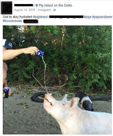Pigs on Walter's Island, California