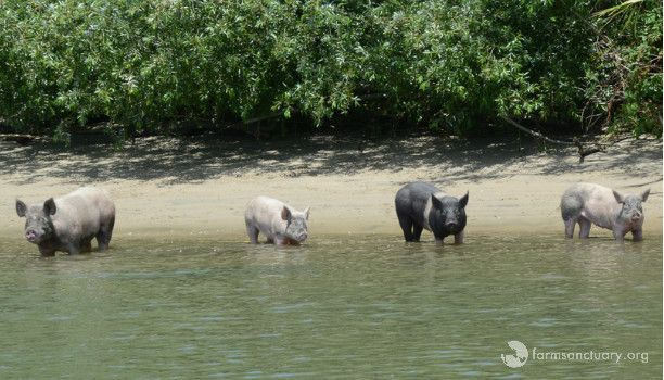 Marooned Pigs Rescued… and then Returned to Neglectful Owner