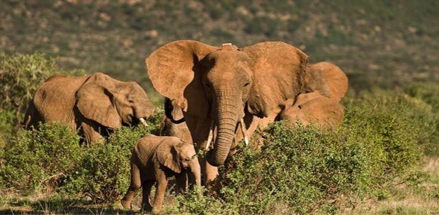 Groundbreaking Elephant Collar Can Sense when Poachers are Shooting