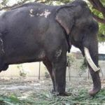 VICTORY – Gajraj the Elephant Rescued After 50 Years in Chains