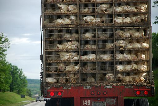 Chickens being transported for slaughter.
