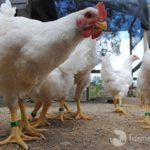 Family Spares their Chickens from Slaughter, Sends Them to A Sanctuary