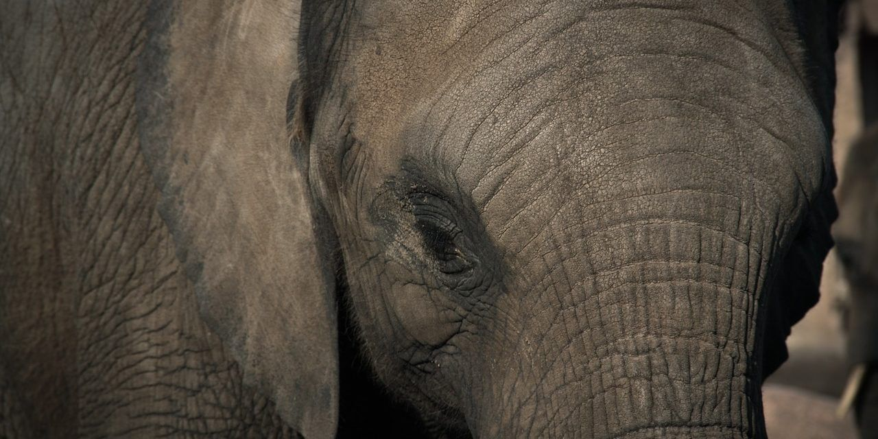 "Ringling Could be Shutting Down their Cruel Elephant ""Conservation"" Center"