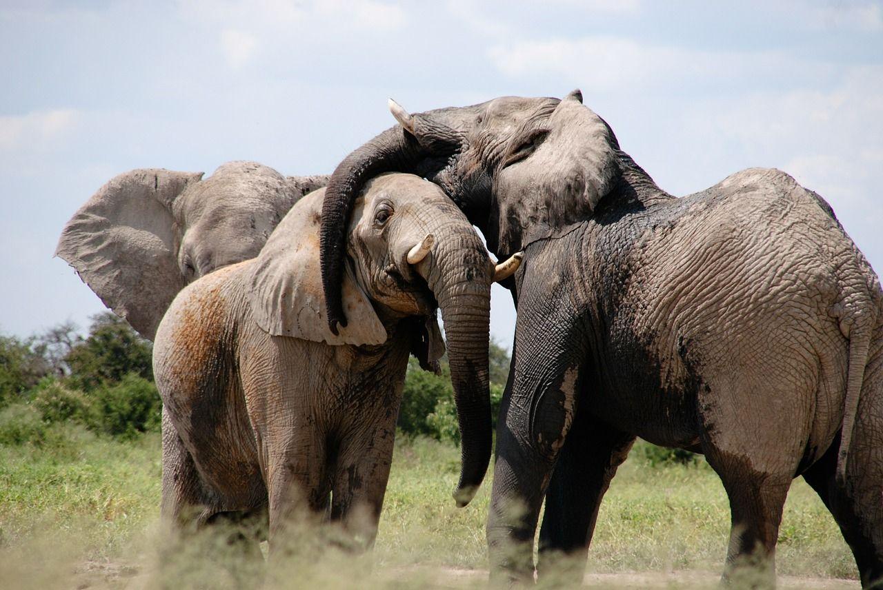 Elephants embrace