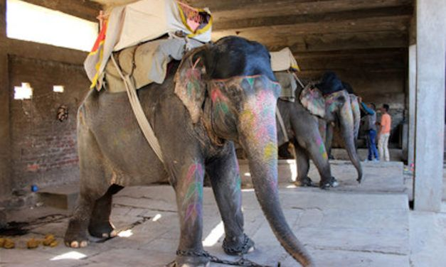 Report: Elephants Are Forced into Deplorable Conditions Just So People Can Sit on Them