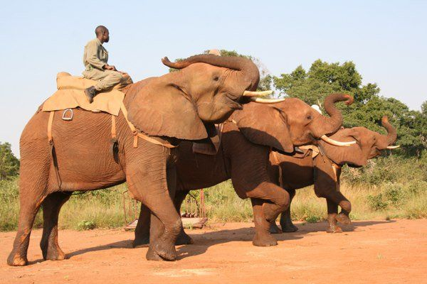 Elephant Used to Give Tourists Rides Attacks and Kills Handler
