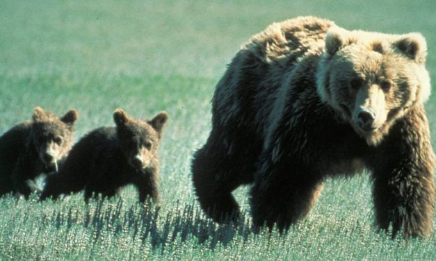 Native Americans are Suing the Government for Delisting Grizzly Bears as Endangered